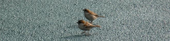 iago_sparrow_two_males [Kees Moeliker]